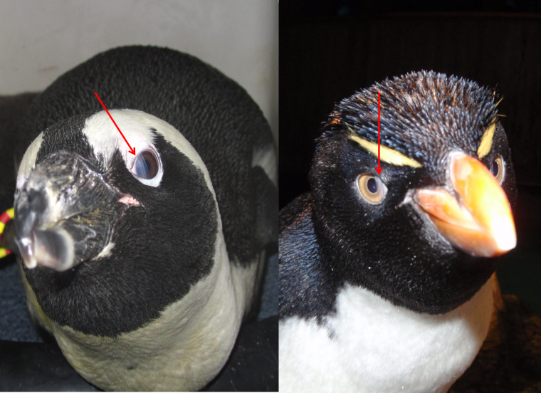 Nictitating membranes can be seen slightly covering the eye of an African penguin (left) and Rockhopper penguin (right).