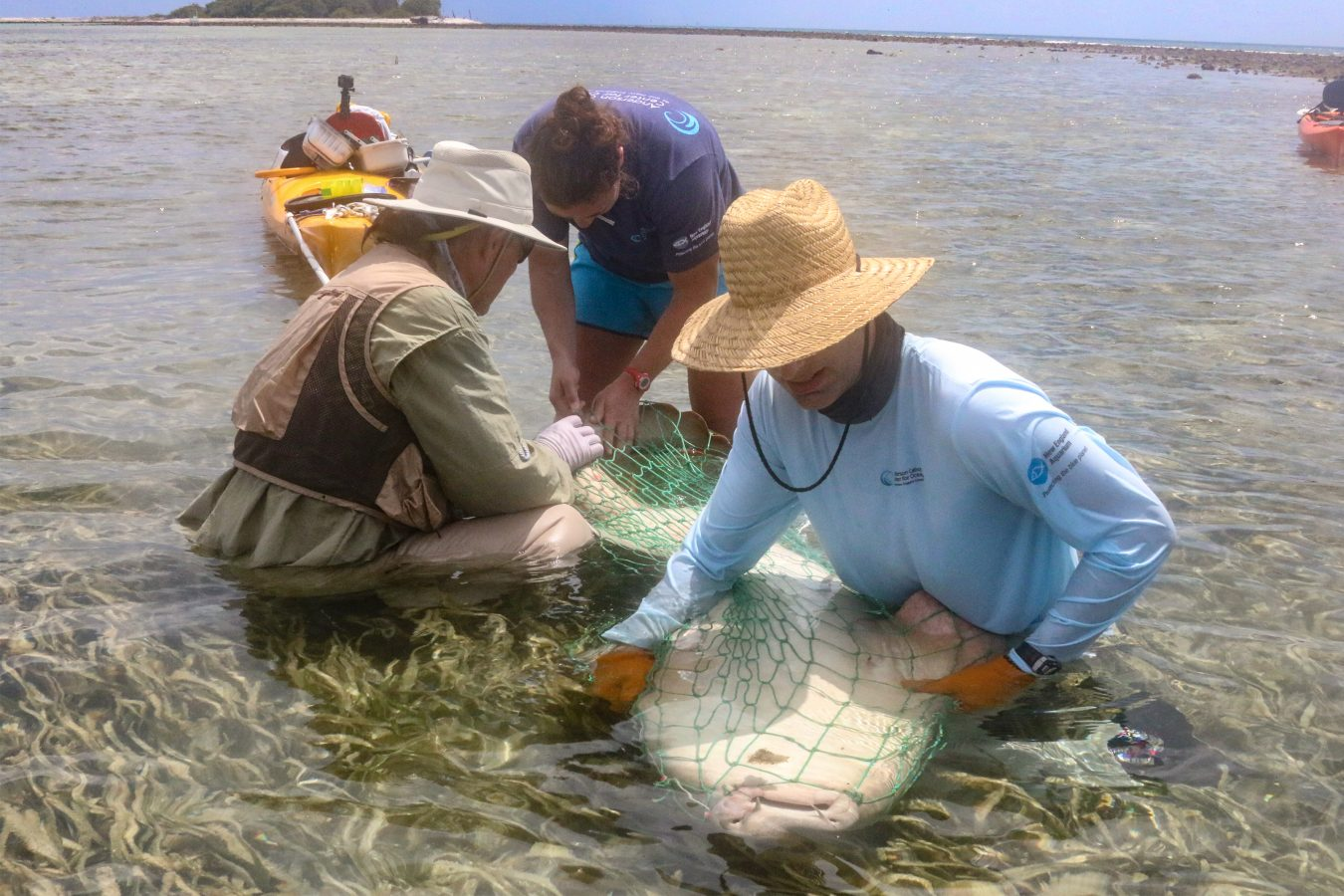 Anderson Cabot Center scientists tagging nurse shark