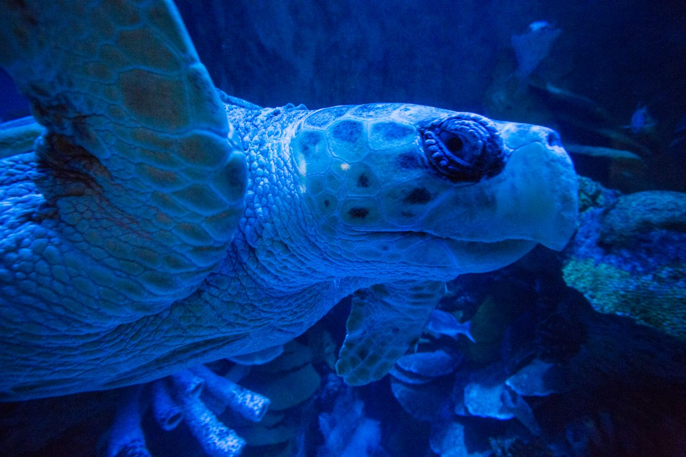 Myrtle the green sea turtle in the GOT under a blue light simulating moonlight.
