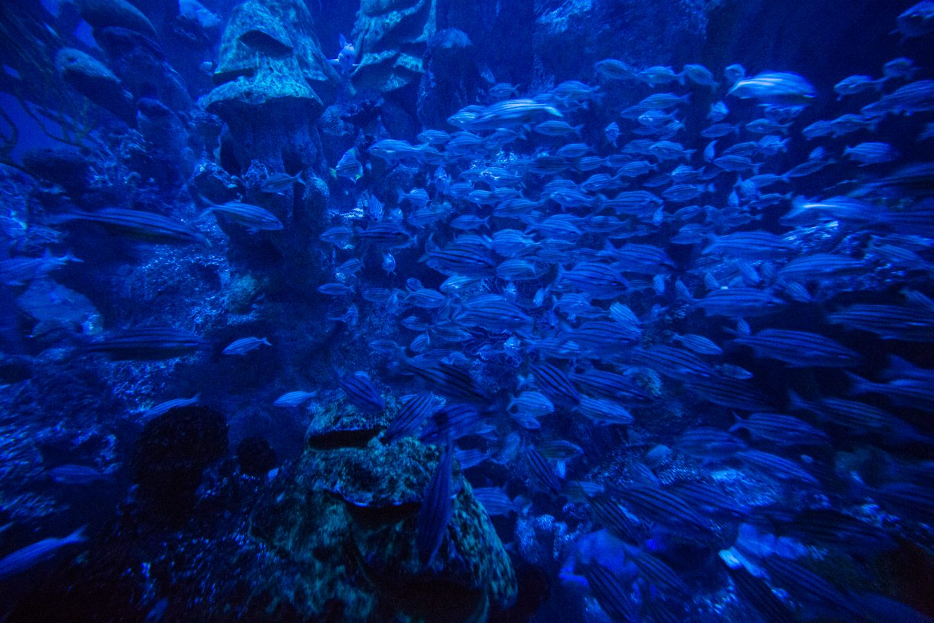 Fish swim in the Giant Ocean Tank under a distinct blue lighting that is meant to replicate the moon