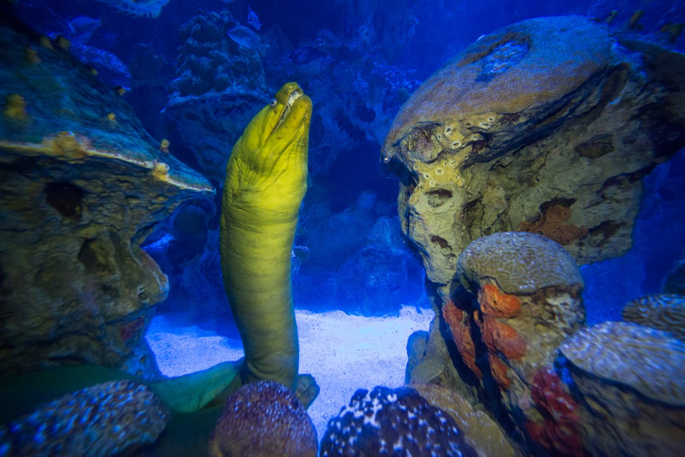 A green moray in the GOT under a blue light simulating moonlight.