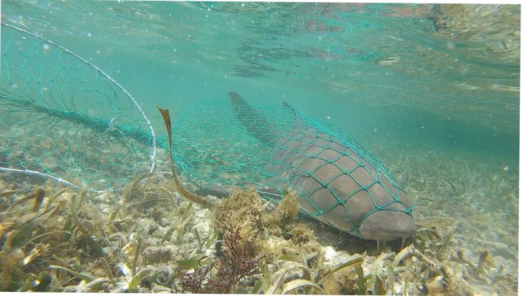 a nurse shark underwater in a net.