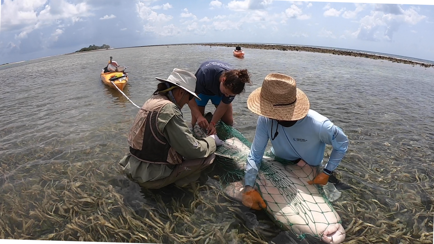 Team works on nurse shark in tonic immobility