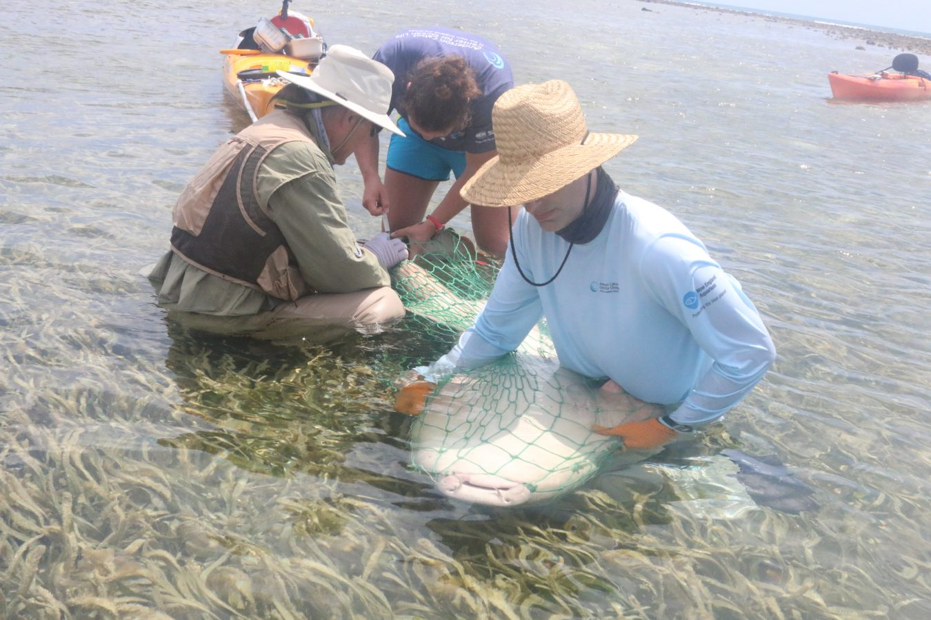 taking blood from a nurse shark in a net