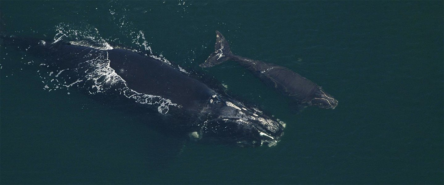 right whale mother and calf