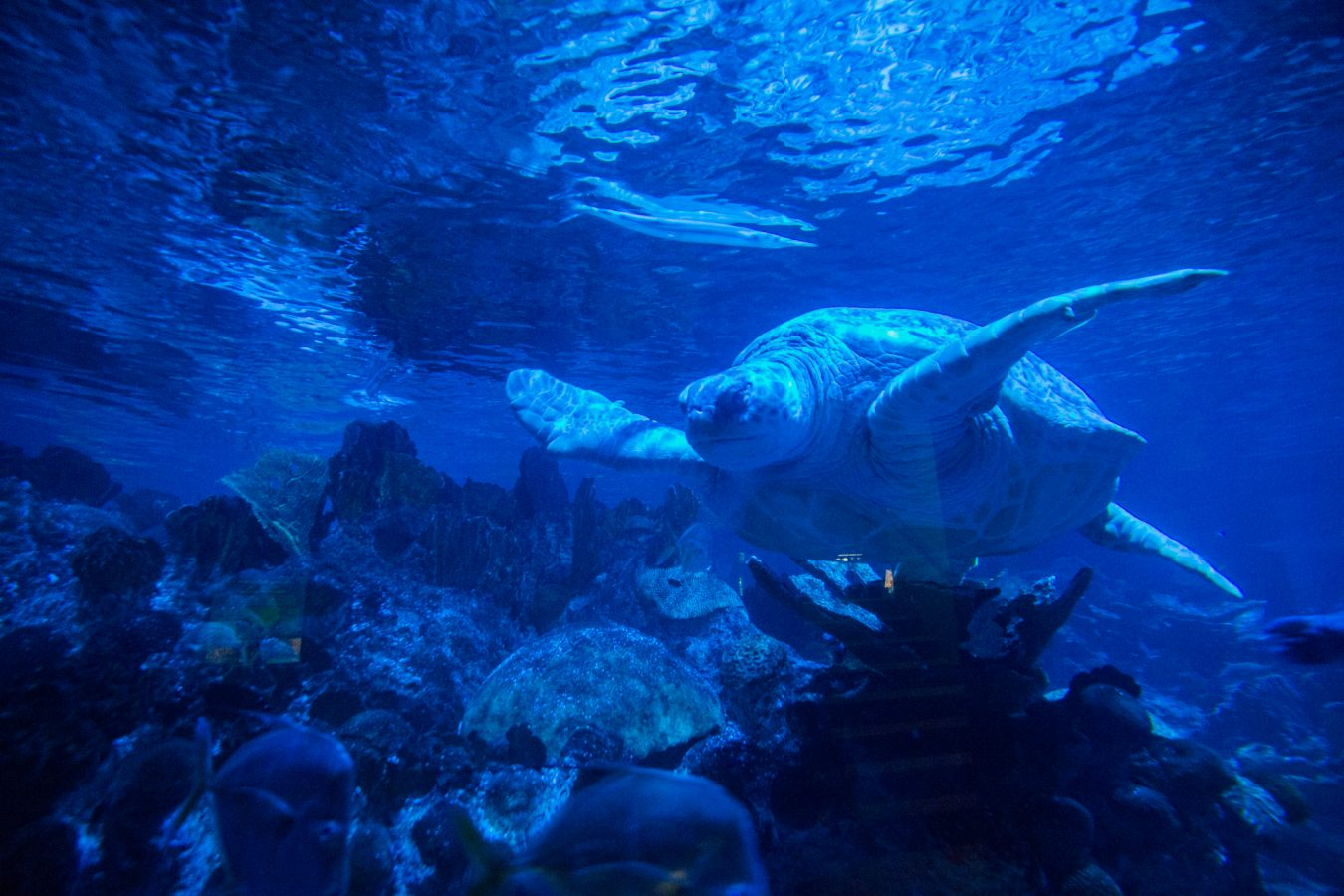Myrtle the green sea turtle swims in the Giant Ocean Tank under a distinct blue lighting that is meant to replicate the moon