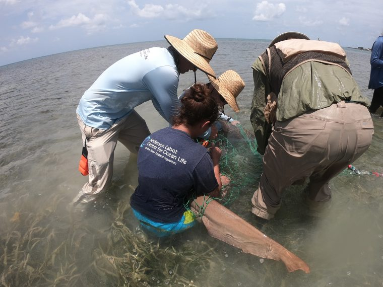 Research team handles a captured nurse shark. Dry Tortugas 2019 Field Season.