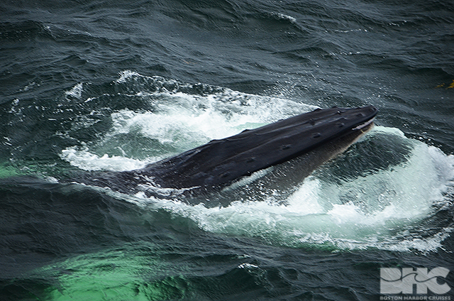 Another view of a humpback whale's mouth.