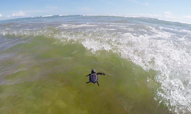sea turtle hatchling swims in the ocean