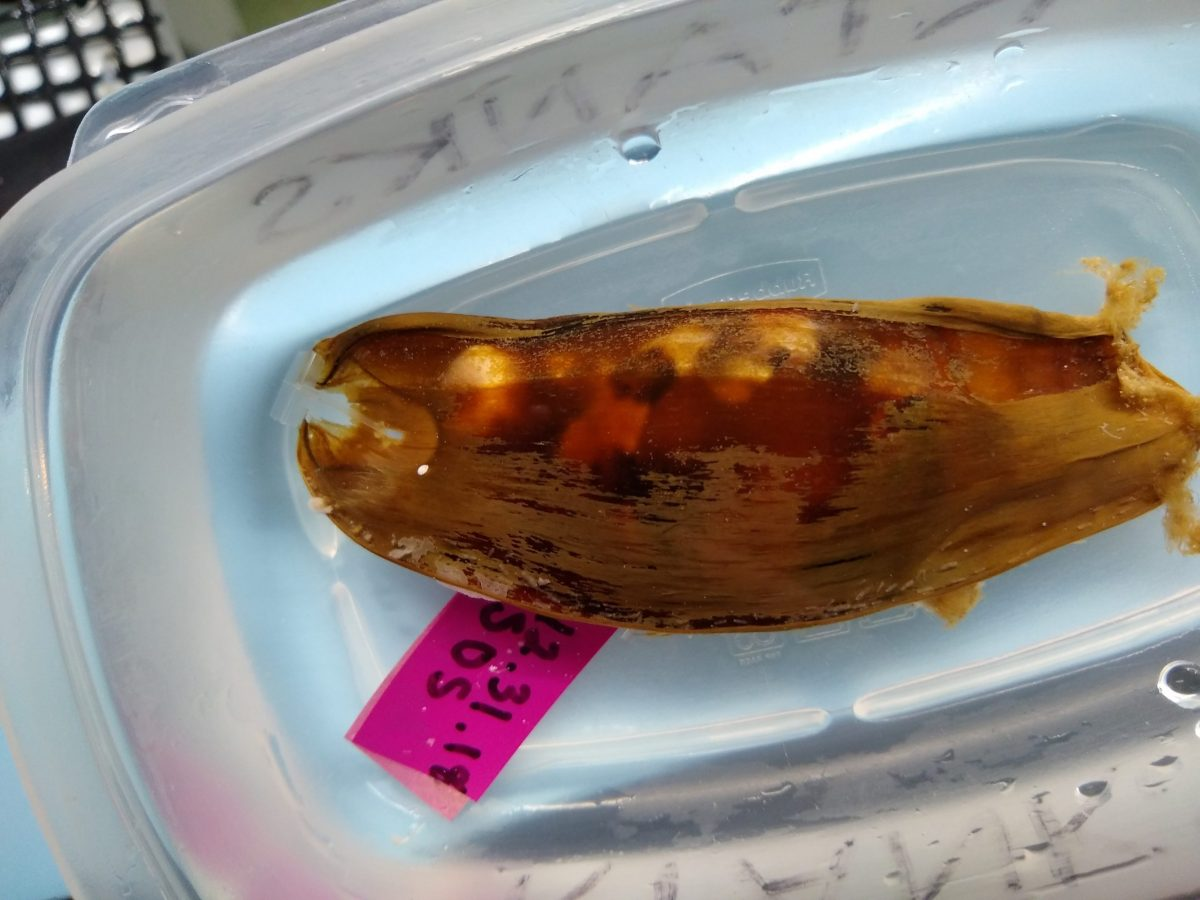 An epaulette shark egg case.