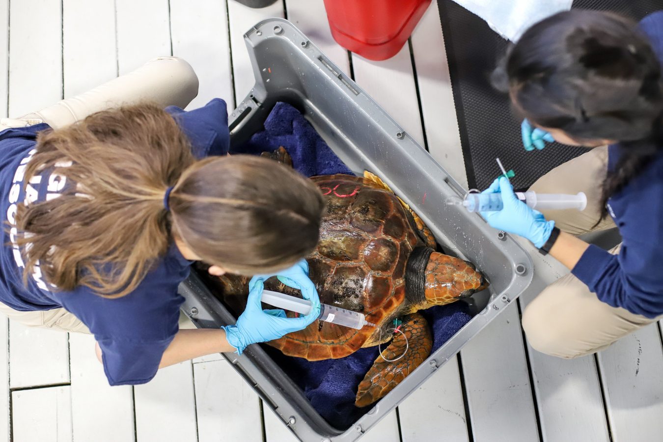 a rescued sea turtle is prepared for a flight south