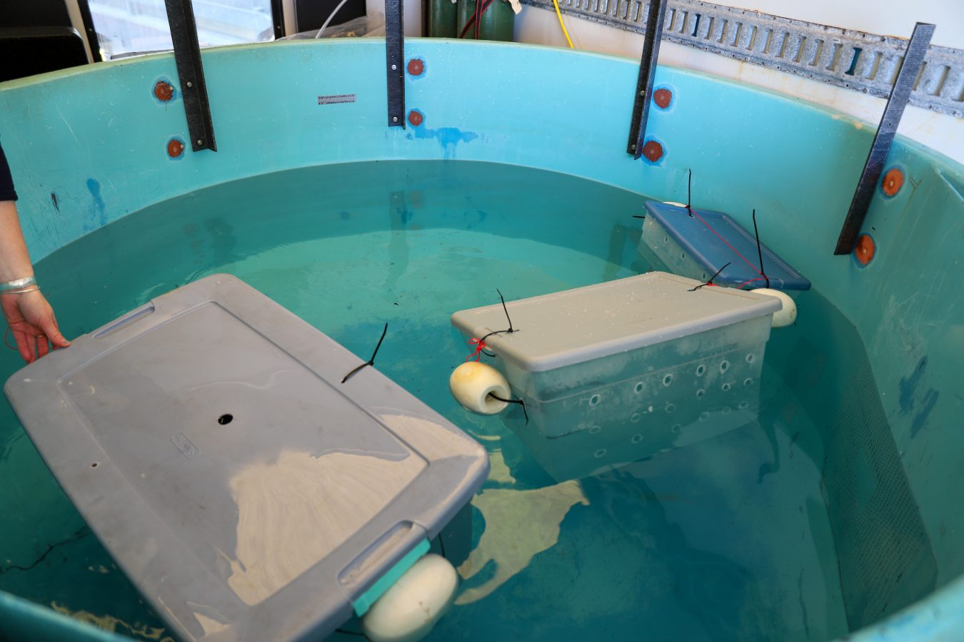 Each fish floats within an individual box inside the holding tank.