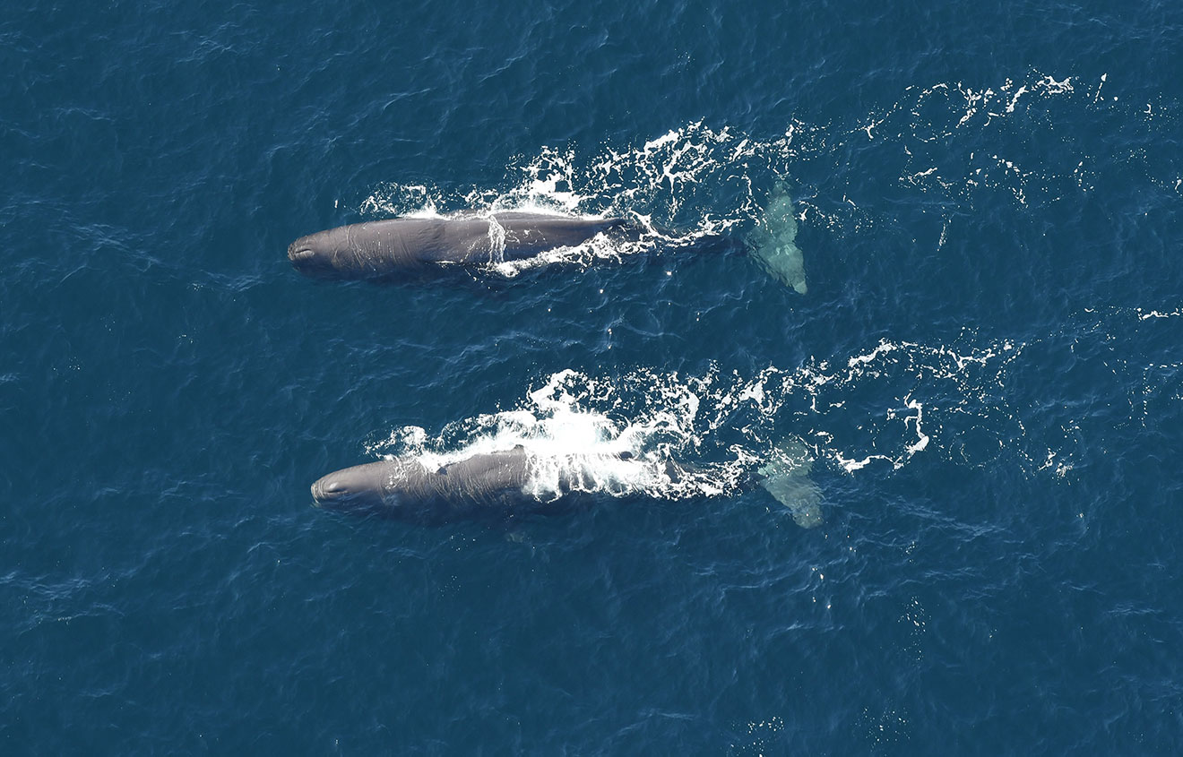 pair of sperm whales, aerial survey of Northeast Canyons and Seamounts Marine National Monument February 2020