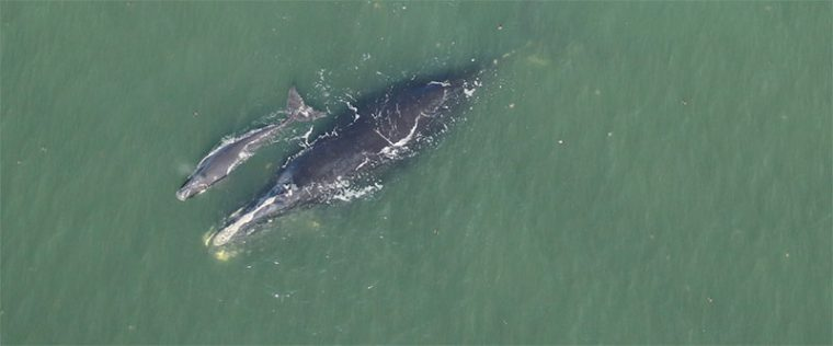 Harmonia, right whale Catalog #3101, was sighted with her newborn calf about 7 nautical miles off Cumberland Island, GA, on January 2, 2020.