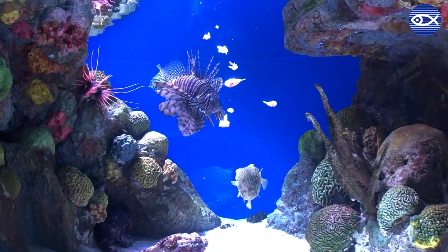 feeding lionfish and pufferfish
