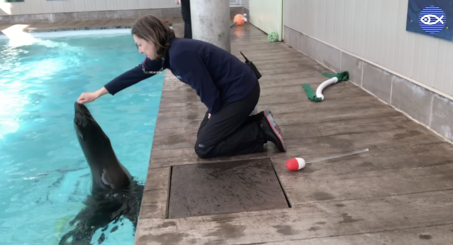 an trainer works with a California sea lion