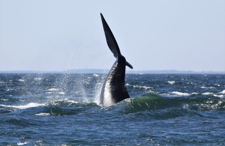 A right whale lobtailing off the shores of Cape Cod
