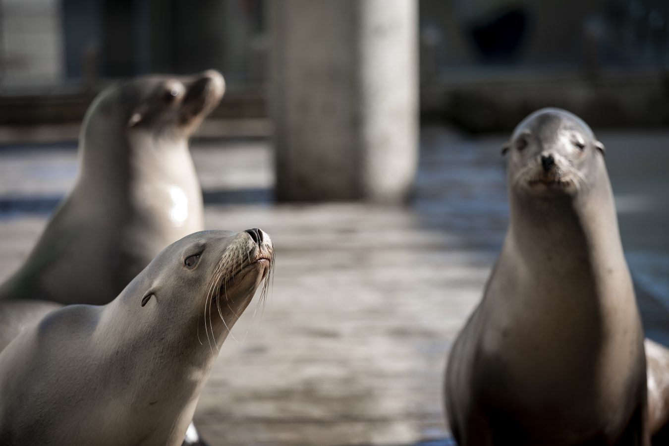 three California sea lions
