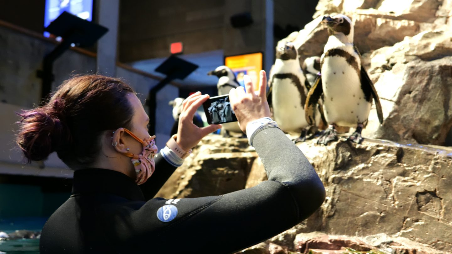 penguin aquarist with phone and african penguins