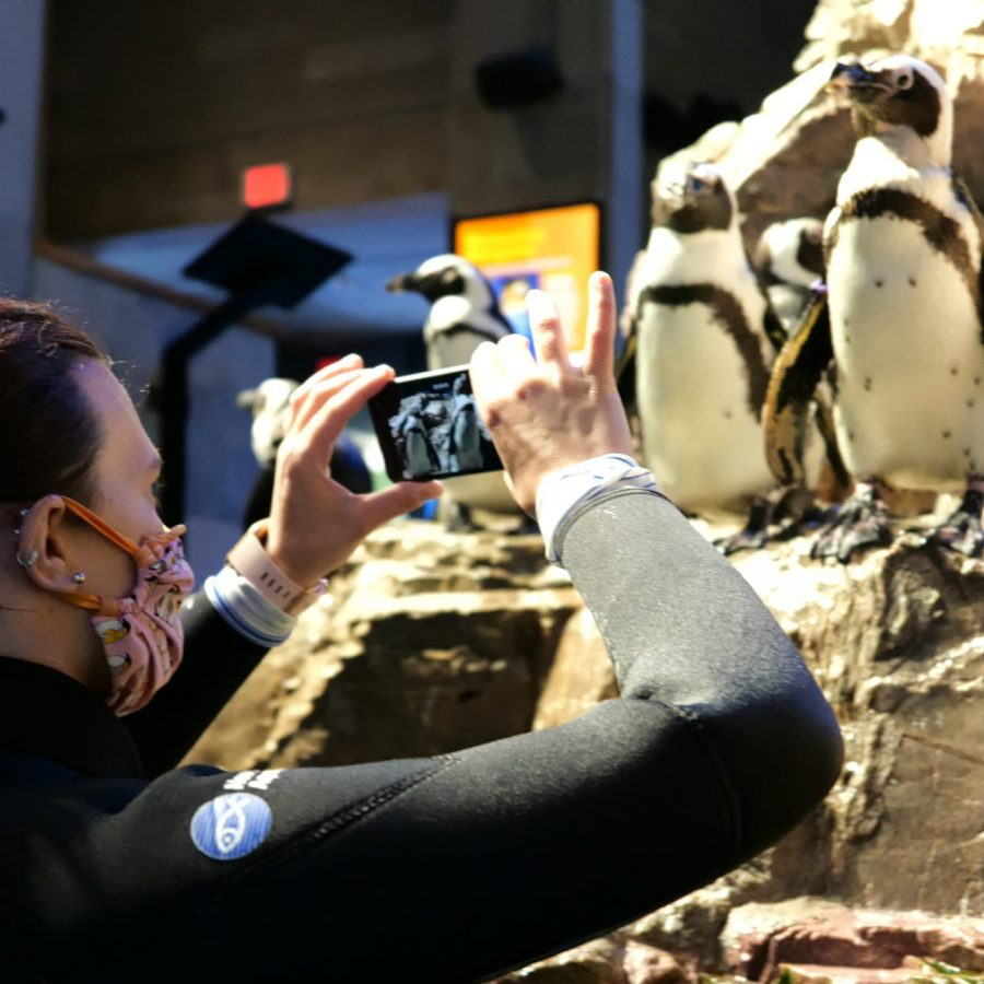 Aquarist filming Penguin on iPhone