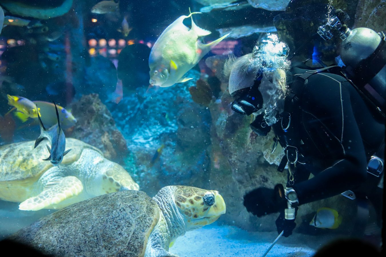 Diver feeding sea turtle in the Giant Ocean Tank