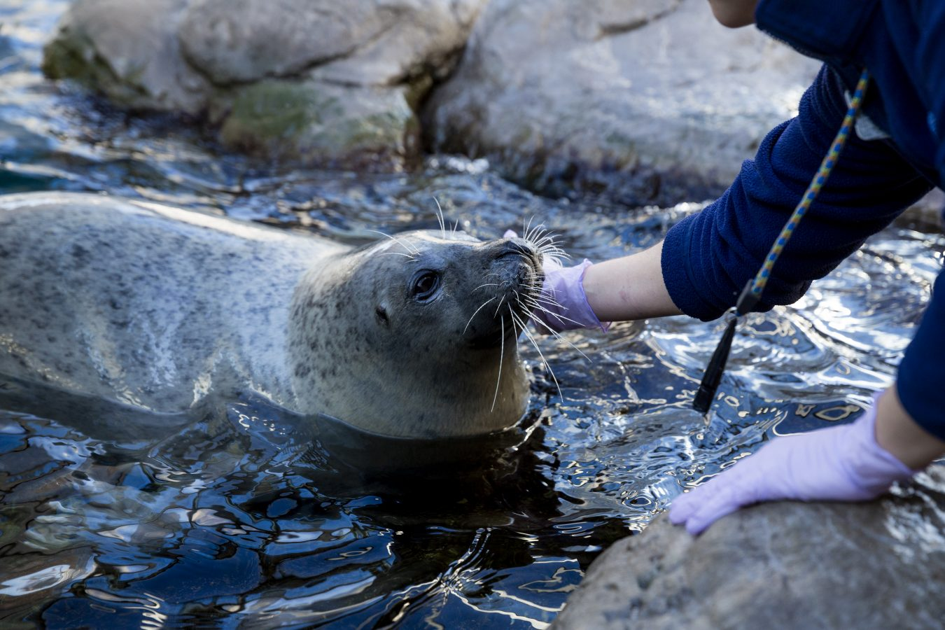 harbor seal with trainer