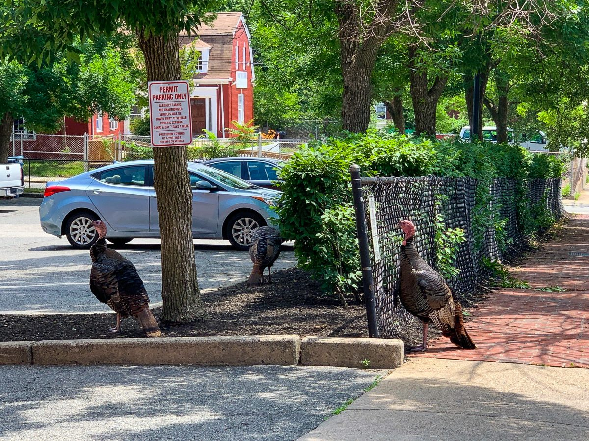 turkeys in the city