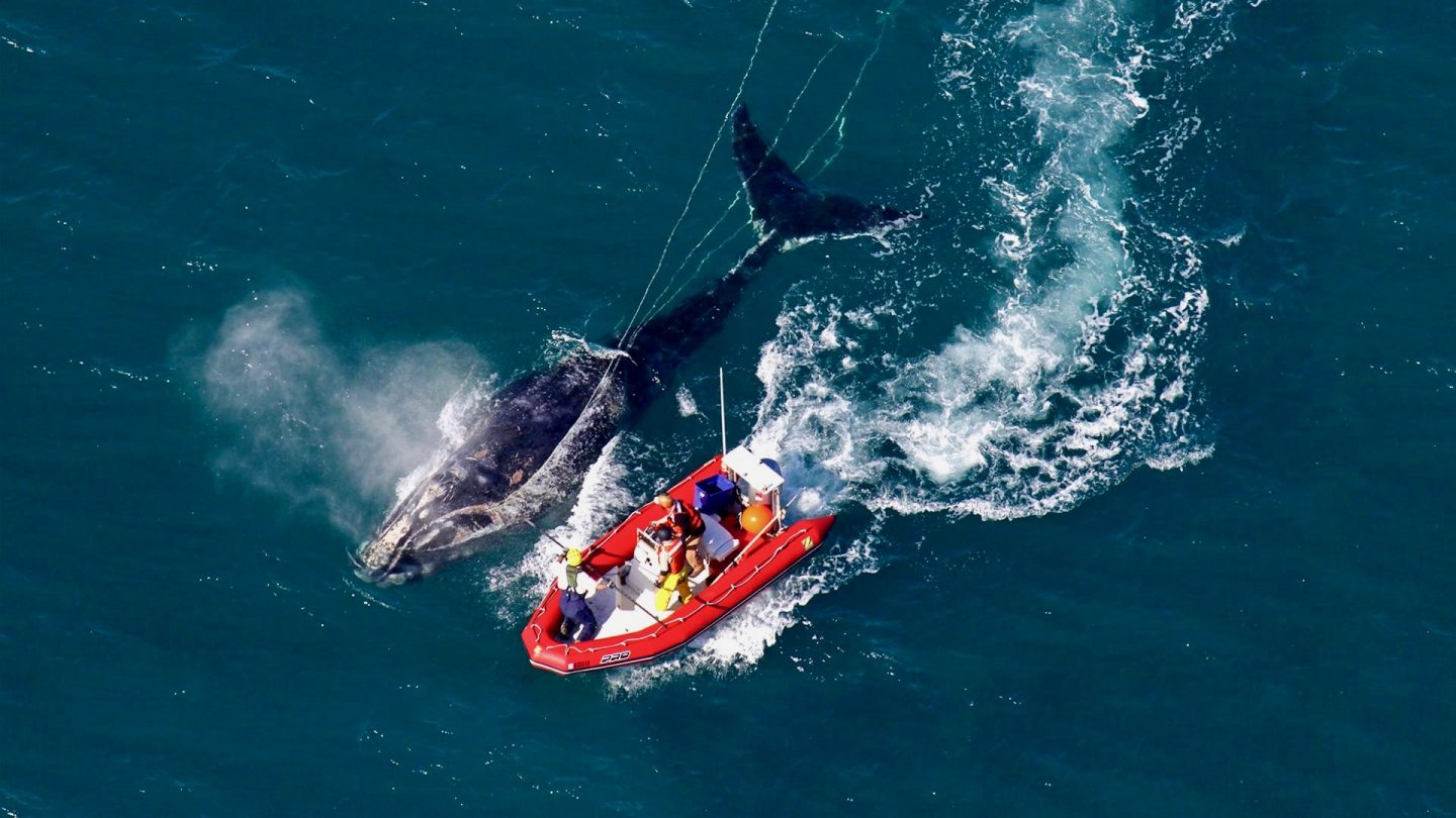 researchers next to right whale