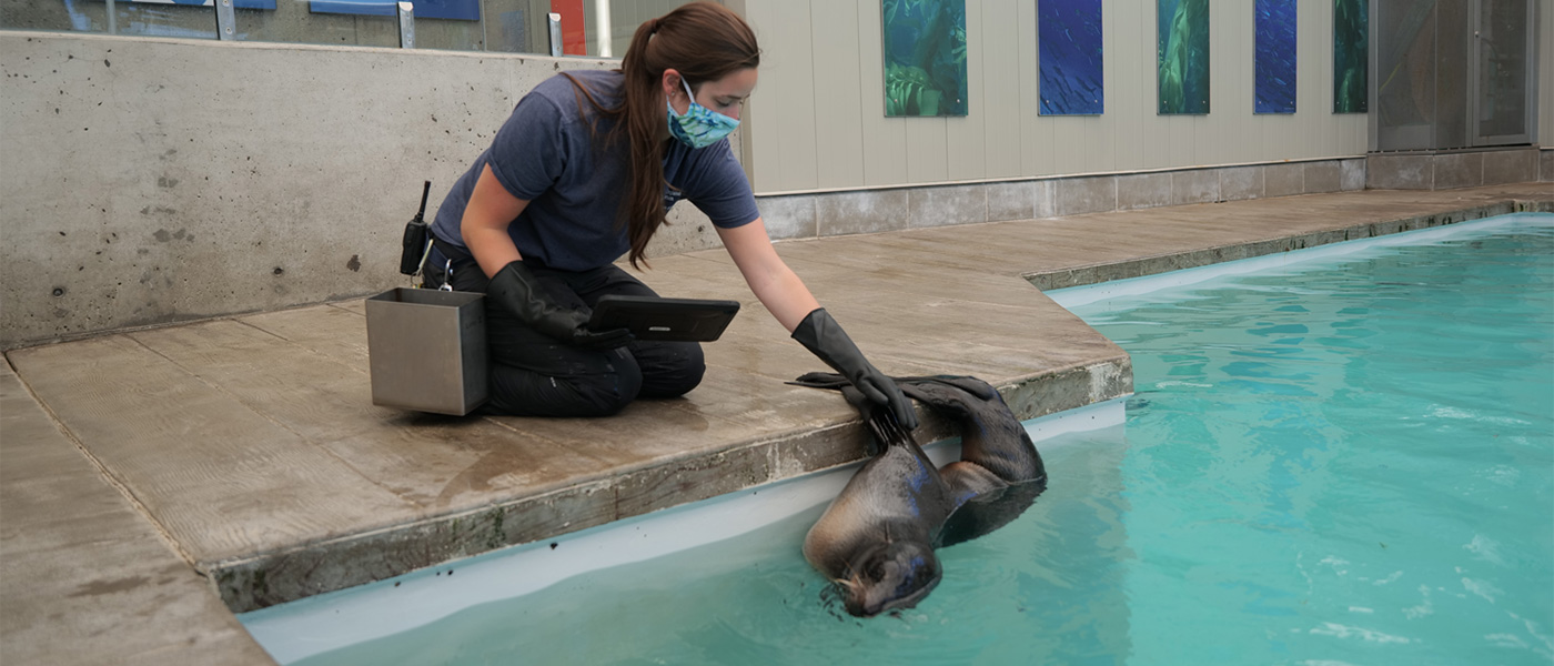 Trainer with northern fur seal